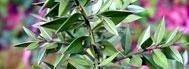 Ruscus-Aculeatus